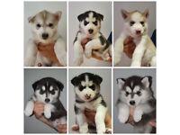 Beautiful Pure Siberian Husky Puppies!