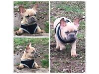 Frenchbulldog puppy