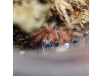 Tarantula collection for sale