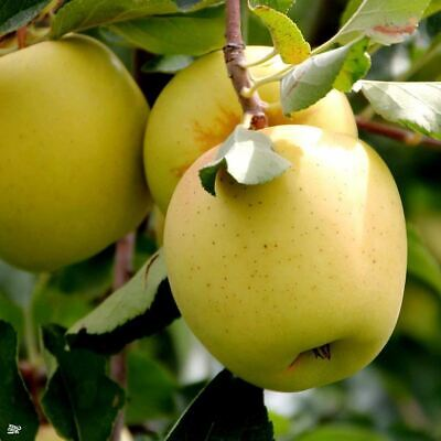 Pyrus Clapps Favourite Pear Dwarf Patio Fruit Tree 3-4ft Supplied in a 5 Litre Pot