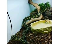 Male Jungle carpet python