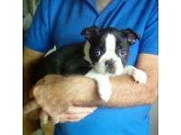 Boston Terrier puppies 11 weeks old ready to go to their forever home KC reg chipped & parvo jab