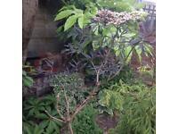 Sambacus , black lace shrub