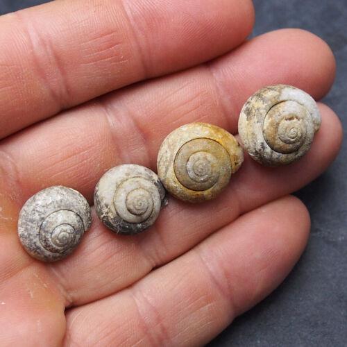4 pieces Snail Cepaea Bivalve Fossils Mollusks Schnecke