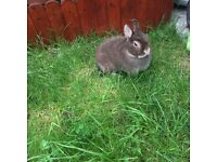 Netherland Dwarf Doe rabbit 2years old chocolate