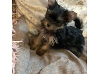 Tiny Yorkshire terriers puppies