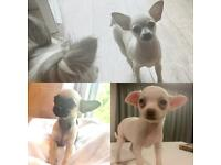 Gorgeous tiny Chihuahuas ready to leave now!