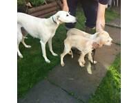 Lurcher puppies