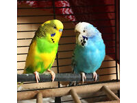 A pair of budgies looking for forever home