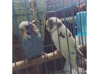 Tame baby budgie for sale