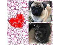 Gorgeous pug puppies for sale £700