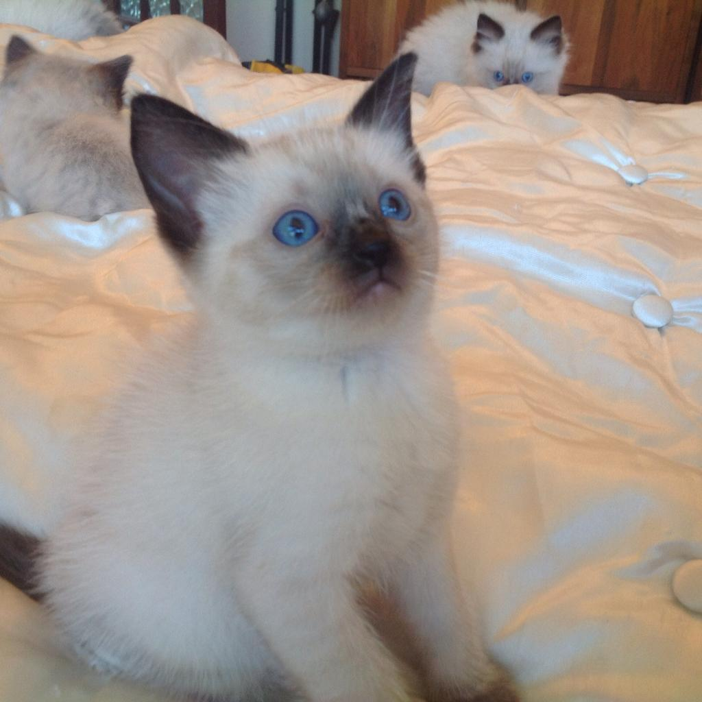 Blue eyed Rag Doll kittens | in Enfield, London | Gumtree