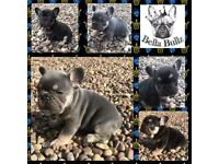Gorgeous Quad French Bulldog Puppies