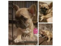 Beautiful chunky Female French Bulldogs triple and quad carriers