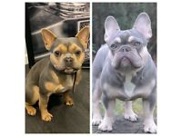 Platinum french bull dog puppies - QUALITY BLOODLINE