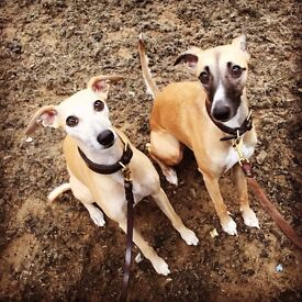Sighthound Sleepover - boutique home boarding and day care for all sighthounds (and their friends!)