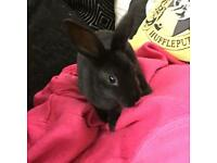 Ghost and Sirius pure Mini Rex bunnies * only white ghost left.