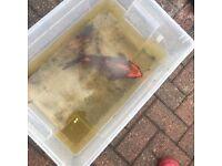 Orange and grey koi carp, 14 inch, £20