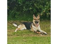 Lovely 2 year old German Shepherd boy
