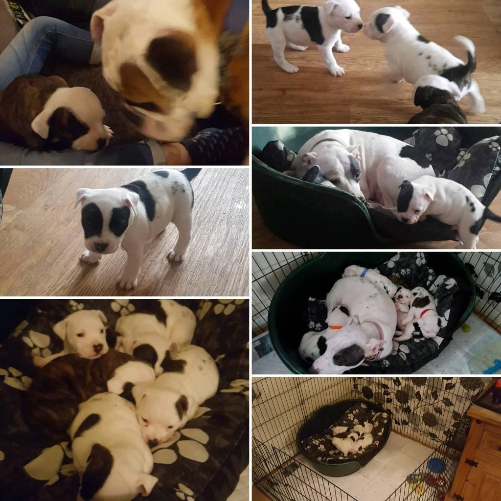 Old tyme bulldog x Staff puppies