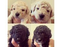 Beautiful poochon puppies