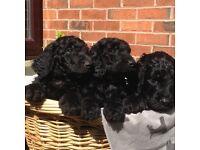 Goldendoodle Puppies - beautiful blacks!