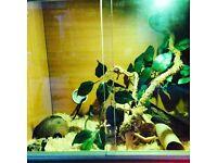 Anery Corn Snake Female baby with Vivarium
