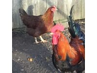 POL Two laying hens for sale, Big Brown Eggs, Welsummer