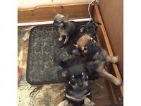 chug puppies for sale £450