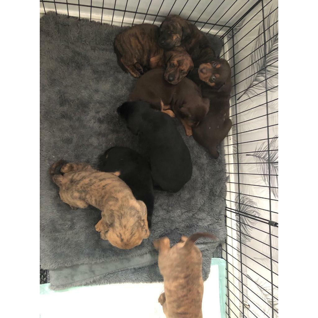 Puppies for sale | in Heathrow, London | Gumtree