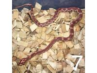 Cb17 baby corn snake hatchling