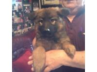 GORGEOUS GERMAN SHEPHERD PUPPIES READY NOW