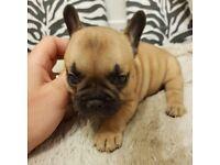 French bulldog puppy female