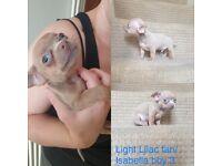 Xxs Chihuahua puppies