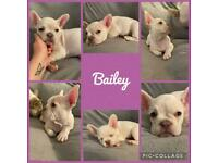 French Bulldogs KC Registered Lilac & Tan