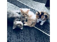1 Long Haired blond and white Kitten For Sale - 1 Male