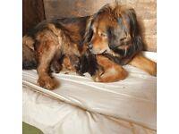 Tibetan Mastiff x Mastiff puppies