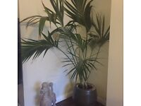 Large, indoor healthy palm and contemporary pot