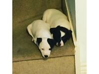 Eight week old Jack Russell puppies Ready now