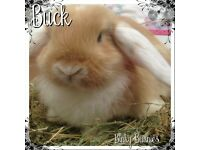 Beautiful mini lop boy