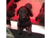 ** price drop** Labrador pups