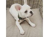 Kennel Club Registered Cream French Bulldog