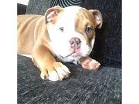Chunky Kc reg British bulldog boy