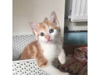 Cute and fluffy ginger and white kittens.