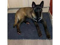 Belgian Malinois female pup 6 month old