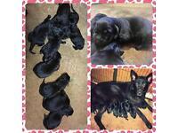 Beautiful Pedigree Black German shepherd puppies