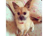 Chorkie dog - free to loving home