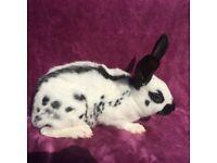 Male black and white English rabbit