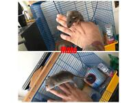 Beautiful Baby Rats For Sale