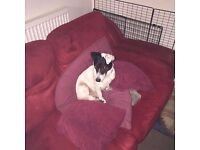 Jack Russell Terrier needs a loving home!